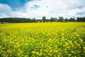 Kukkiva keltainen rypsipelto on ilo silmille
