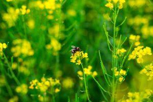 Rypsin tuoksusta huumaantuvat myös mehiläiset