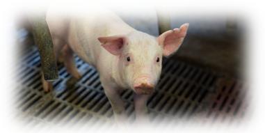 Härkäpapu sikojen ruokinnassa - Valkuaista kotimaasta